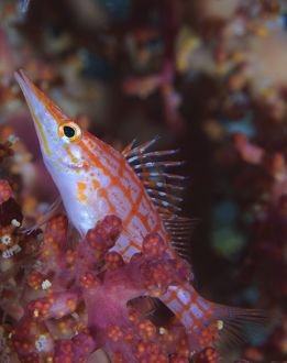 Longnose hawkfish, Solomon Islands