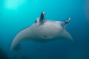 White-bellied giant oceanic manta ray, Palau, Micronesia